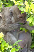 Hua Hin Monkey 09 — Stock Photo