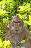 Hua Hin Monkey 10 — Stock Photo