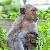Hua Hin Monkeys 01 — Stock Photo