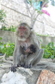 Hua Hin Monkey 12 — Stock Photo