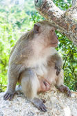 Hua Hin Monkey 13 — Stock Photo