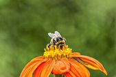 Busy Bumble Bee — Stock Photo