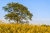 Rapeseed field with tree — Stock Photo