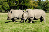 Two Rhinos — Stock Photo