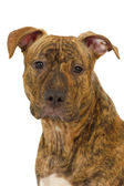 Staffordshire terrier dog — Stockfoto