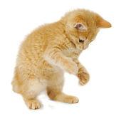 Staande kitten — Stockfoto
