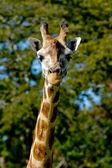 Giraff — Foto Stock