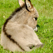 Donkey foal eating — Stock Photo