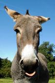 Burro muestra lengua — Foto de Stock