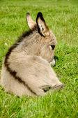 Donkey foal eating — Stock Photo