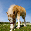 Horse foal is eating grass — ストック写真