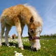 Horse foal is eating grass - Stock Photo