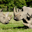 Group of rhino - Stock Photo