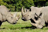 Group of rhino — Stock Photo