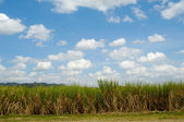 Sugar cane field from the Dominican Republic — Stock Photo