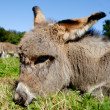 Young donkey — Stock Photo #13127396