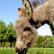 Donkey eating grass — Stock Photo #13127397