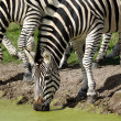 Zebras are dirnking water — Stock Photo