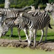 Group of zebras — Stock Photo
