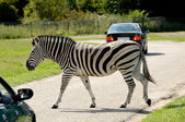 Zebra is crossing road among cars — Stock Photo