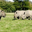 Group of rhinos - Stock Photo