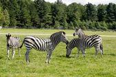 Group of zebras — Stockfoto