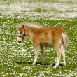 Horse foal on flower field — Stock Photo