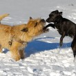Two dogs playing — Stock Photo #13269701