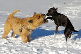 Two dogs playing — Stock Photo