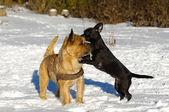 Twee honden spelen — Stockfoto