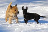 Iki köpeği karda — Stok fotoğraf