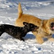 Stock Photo: Fighting dogs