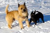 Deux chiens dans la neige — Photo