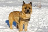 собака в снегу — Стоковое фото