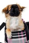 Cachorro na bolsa — Foto Stock