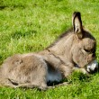 Stock Photo: Young donkey eating grass