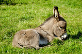 Young donkey eating grass — Stock Photo