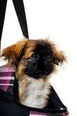 Cara de perro cachorro en bolsa — Foto de Stock
