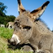 Stock Photo: Donkey foal