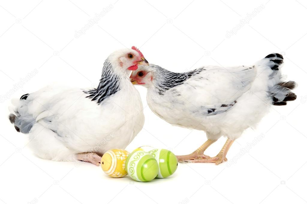 复活节蛋的鸡.在白色背景上孤立– 图库图片