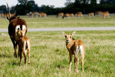 Antelopes are standing on green grass — Photo