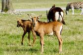 Antylopy stoją na zielonej trawie — Zdjęcie stockowe