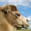 Camel face — Stock Photo