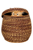 Cat is hiding in a basket. — Stock Photo
