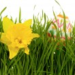 Daffodil and easter egg — Stock Photo #5269794