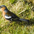 Common Chaffinch Male — Stock Photo