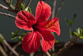 Red Hibiscus Flower — Foto de Stock