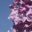 Lilac blossom — Stock Photo #13242665