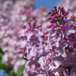 Lilac blossom — Stock Photo #13242666