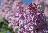 Lilac blossom — Stock Photo